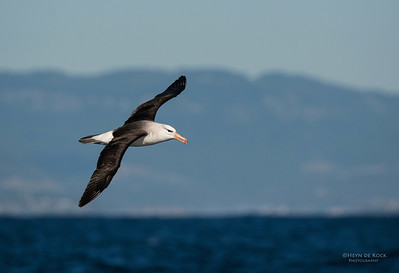 Black-browed Albatross, Wollongong Pelagic, NSW, Aus, Sep 2012
