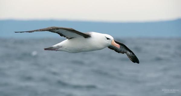 Black-browed Albatross, Wollongong Pelagic, NSW, Aus, Apr 2014-2