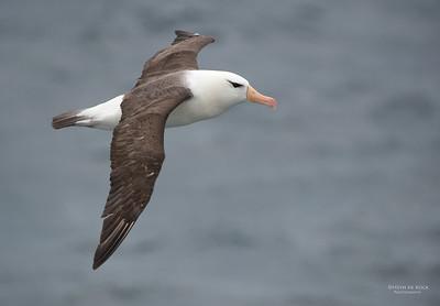 Black-browed Albatross, Wollongong Pelagic, NSW, Aus, Apr 2014-1