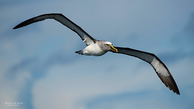 Buller's Albatross, Wollongong Pelagic, NSW, Aus, Aug 2014