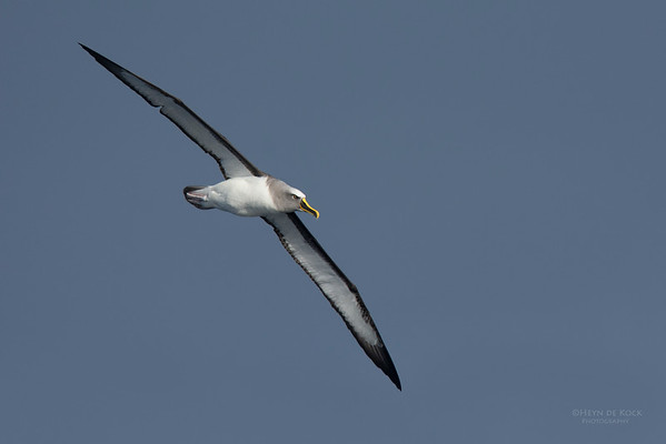 Buller's Albatross, Eaglehawk Neck Pelagic, TAS, July 2015-3