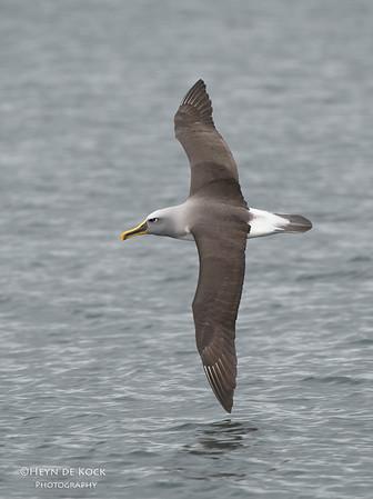 Bullers Albatross, Stewart Island Pelagic, SI, NZ, Jan 2013