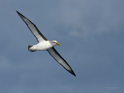 Buller's Albatross, Eaglehawk Neck Pelagic, TAS, July 2015-4