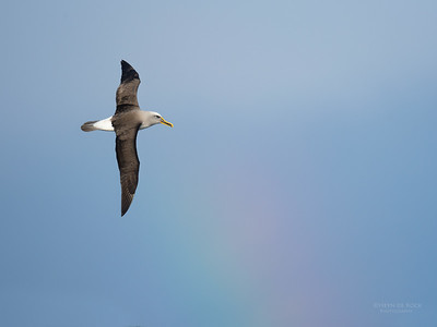Buller's Albatross, Eaglehawk Neck Pelagic, TAS, July 2015-1