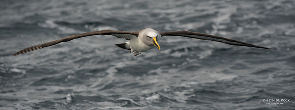 Buller's Albatross, Wollongong Pelagic, NSW, Jul 2014