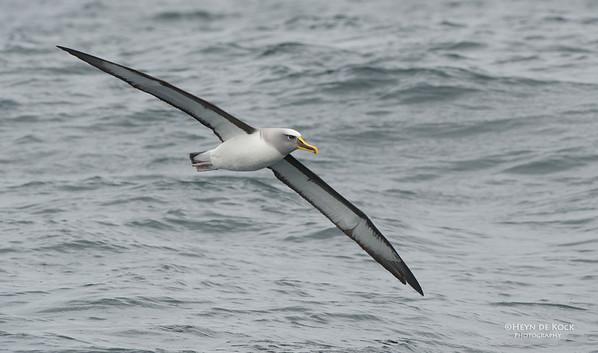 Bullers Albatross, Stewart Island Pelagic, SI, NZ, Jan 2013-1 copy
