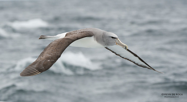 Salvin's Albatross, Stewart Island Pelagic, SI, NZ, Jan 2013-2 copy