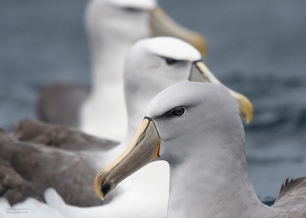 Salvin's and Shy Albatross, Eaglehawk Neck Pelagic, TAS, Dec 2019-2