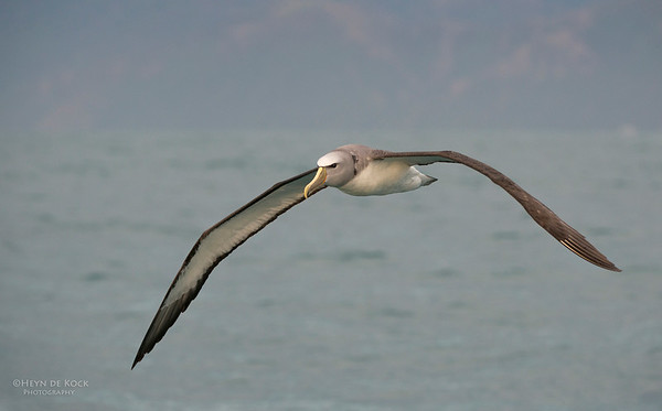 Salvin's Albatross, Kaikoura, SI, NZ, Jan 2013