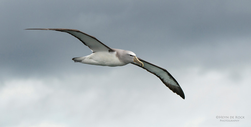 Salvin's Albatross, Stewart Island Pelagic, SI, NZ, Jan 2013-1