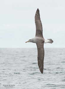 Salvin's Albatross, Stewart Island Pelagic, SI, NZ, Jan 2013-4