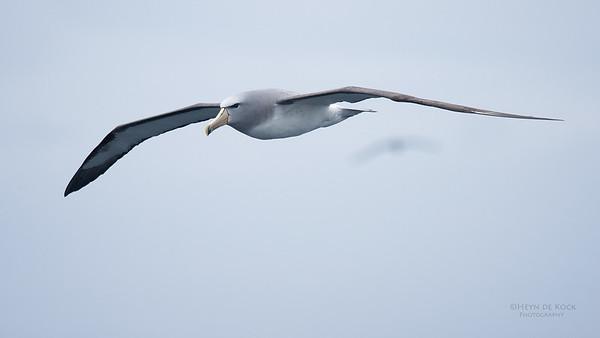 Salvin's Albatross, Eaglehawk Neck Pelagic, TAS, Sept 2016-9