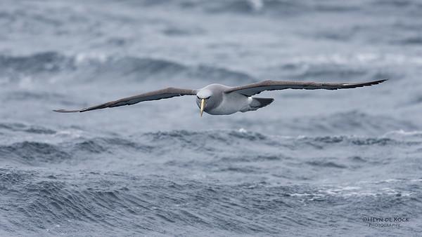 Salvin's Albatross, Eaglehawk Neck Pelagic, TAS, Sept 2016-6