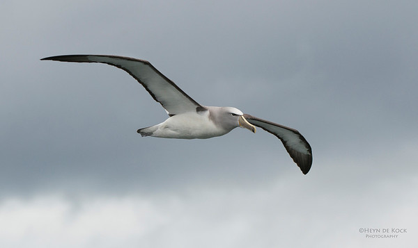 Salvin's Albatross, Stewart Island Pelagic, SI, NZ, Jan 2013