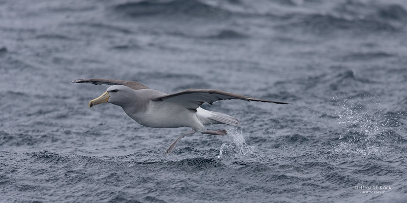 Salvin's Albatross, Eaglehawk Neck Pelagic, TAS, Sept 2016-5