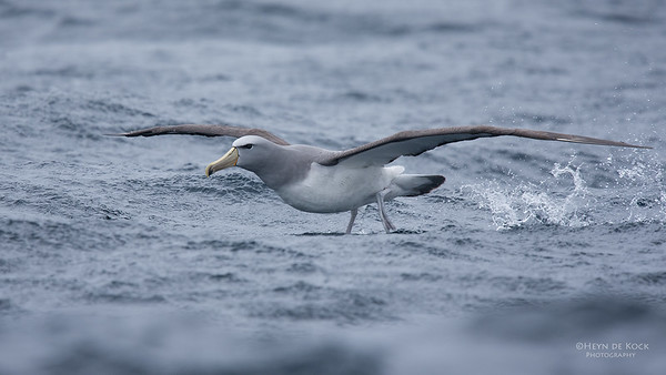 Salvin's Albatross, Eaglehawk Neck Pelagic, TAS, Sept 2016-7