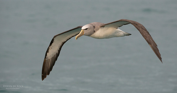 Salvin's Albatross, Kaikoura, SI, NZ, Jan 2013-1