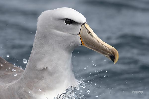 Salvin's Albatross, Eaglehawk Neck Pelagic, TAS, Dec 2019-1