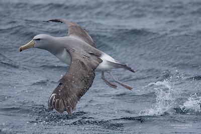 Salvin's Albatross, Eaglehawk Neck Pelagic, TAS, Sept 2016-8