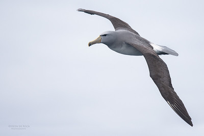 Salvin's Albatross, Eaglehawk Neck Pelagic, TAS, Sept 2016-11
