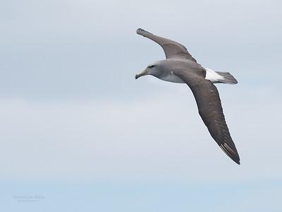 Salvin's Albatross, sub-ad, Eaglehawk Neck Pelagic, TAS, Sept 2016-1