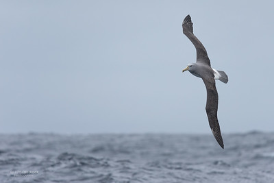 Salvin's Albatross, Eaglehawk Neck Pelagic, TAS, Sept 2016-2