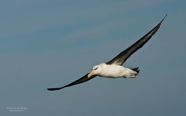 Campbell Albatross, Wollongong Pelagic, NSW, Aus, April 2012-1