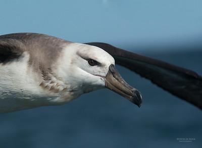 Campbell Albatross, juv, Wollongong Pelagic, NSW, Aus, Sep 2013-1