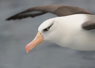 Campbell Albatross, Wollongong Pelagic, NSW, Aus, Oct 2012-1