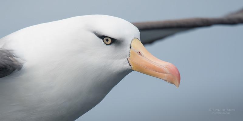 Campbell Albatross, Eaglehawk Neck Pelagic, TAS, Sept 2016-1