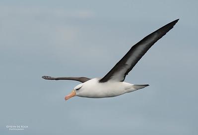 Campbell Albatross, Wollongong Pelagic, NSW, Aus, Oct 2012