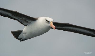 Campbell Albatross, Wollongong Pelagic, Nov 2013