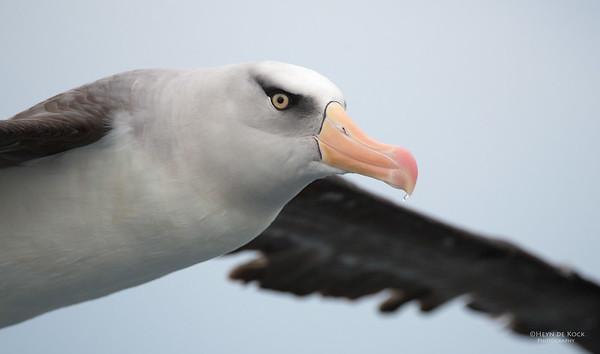 Campbell Albatross, Melasnistic, Wollongong Pelagic, NSW, Aus, Apr 2014-6
