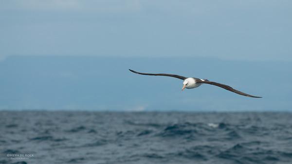 Campbell Albatross, Wollongong Pelagic, NSW, Oct 2009-3
