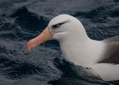 Campbell Albatross, Wollongong Pelagic, NSW, Oct 2009-2