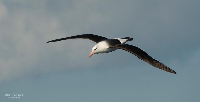 Campbell Albatross, Wollongong Pelagic, NSW, Aus, Oct 2012-2