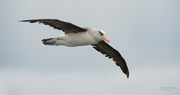 Campbell Albatross, Melasnistic, Wollongong Pelagic, NSW, Aus, Apr 2014-4 copy