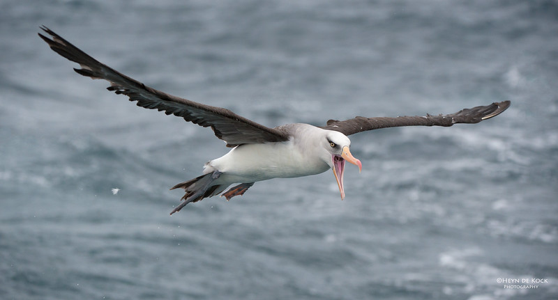 Campbell Albatross, Melasnistic, Wollongong Pelagic, NSW, Aus, Apr 2014-7