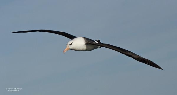 Campbell Albatross, Wollongong Pelagic, NSW, Aus, April 2012