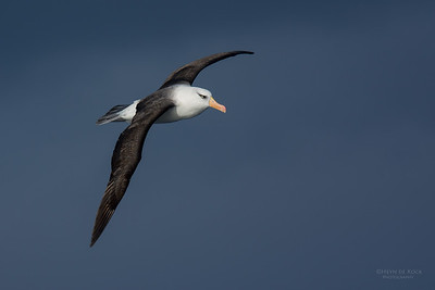 Campbell's Albatross, Eaglehawk Neck Pelagic, TAS, July 2015-1