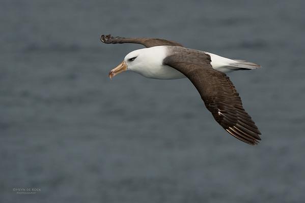 Campbell Albatross, Wollongong Pelagic, NSW, Aus, Aug 2014-1