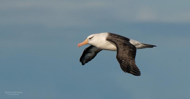 Campbell Albatross, Wollongong Pelagic, NSW, Aus, May 2014-1