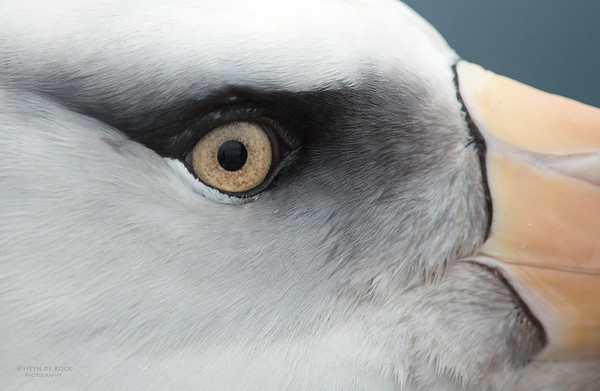 Campbell Albatross, Melanistic, eye-detail, Wollongong Pelagic, NSW, Aus, Apr 2014-1