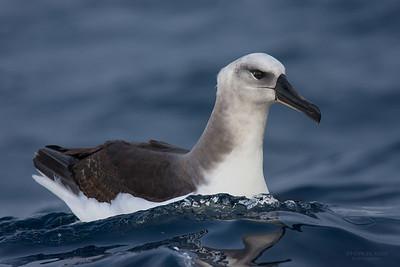 Grey-headed Albatross, imm, Eaglehawk Neck Pelagic, TAS, May 2016-3