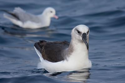Grey-headed Albatross, imm, & Southern Fulmar, Eaglehawk Neck Pelagic, TAS, May 2016-1