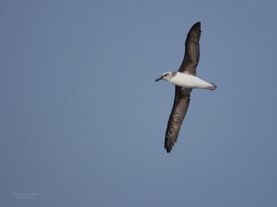 Grey-headed Albatross, imm, Eaglehawk Neck Pelagic, TAS, May 2016-5