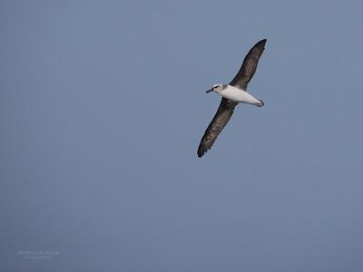 Grey-headed Albatross, imm, Eaglehawk Neck Pelagic, TAS, May 2016-4