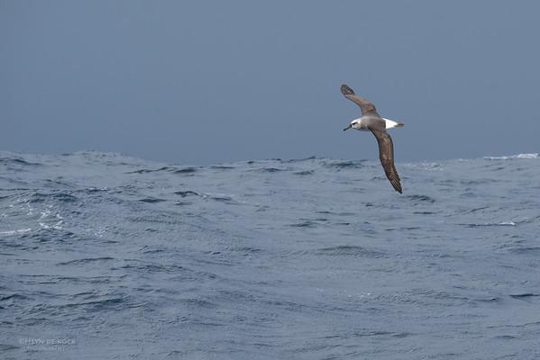Grey-headed Albatross, imm, Eaglehawk Neck Pelagic, TAS, May 2016-1