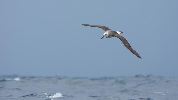 Grey-headed Albatross, imm, Eaglehawk Neck Pelagic, TAS, May 2016-2