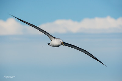 Indian Yellow-nosed Albatross, Wollongong Pelagic, NSW, Jul 2014-10